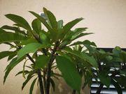 Plumeria Fragipani fast geschenkt