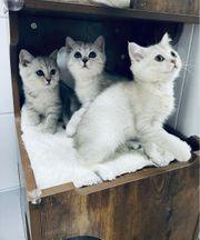 Kitten Britische Bkh