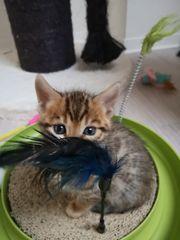 Bengal Kitten Katze Kater