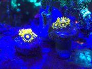 3-4 Polypen Zoanthus Blueberry Pie