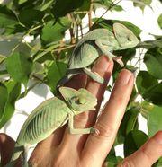 NZ Jemenchamäleon Chamaeleo calyptratus