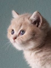 Reinrassige BKH Britisch Kurzhaar Kitten