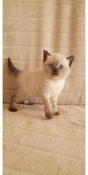 BKH Britisch kurzhaar kitten in