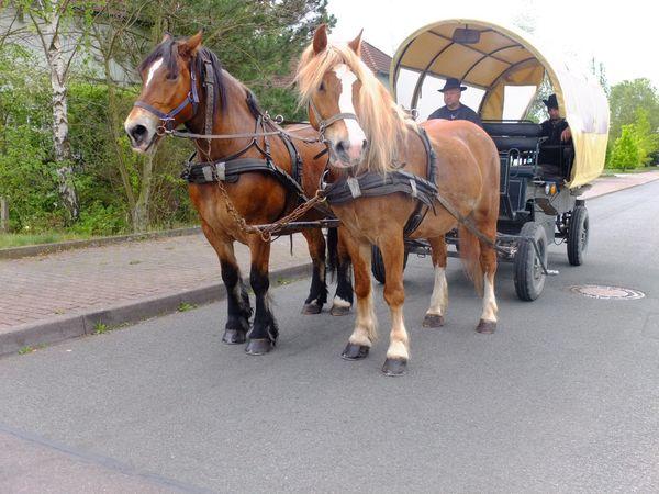 Schönes Gespann Arbeitspferde