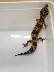 Leopardgecko Weibchen Wildfarben