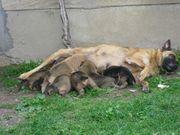Belgische Schäferhund Malinoiwelpen
