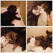 BKH Kitten suchen sein neues