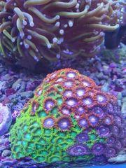 Zohantus Fire Ice Korallen