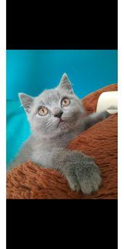 Scottish Fold BKH Kitten sofort