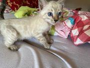 Bengal Snow Lynx Kitten TICA