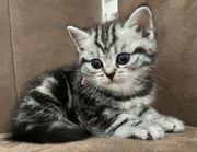 BKH Kitten Black-Silver-Tabby Whiskas