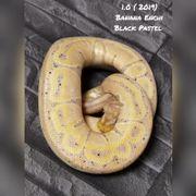 1 0 Banana enchi blackpastel