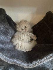 BKH Kitten sucht zuhause