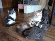 Reinrassige Maine Coon Kitten mit