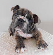 männlich registrierte englische Bulldoggen