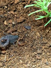 Lychas tricarinatus Skorpion Nachzuchten Parthenogenese