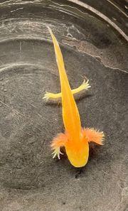Axolotl - eigene Nachzucht farbintensive Goldalbinno