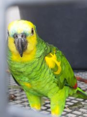 Gelbflügelblaustirnamazonen