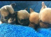 Hübsche kleine Chihuahua Welpen