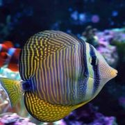 Meerwasser Indischer Segelflossen Doktorfisch 6-7cm