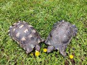 Adulte Breitrandschildkröten Tm abzugeben