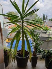 Yucca-Palme 1m