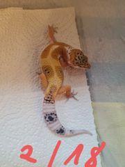 Leopardgeckos NZ21 0 1
