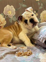 English Bulldog Welpen mit FCI -