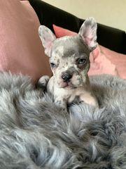 Französische Bulldoggen Welpen Blue Lilac