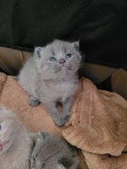 BKH reinrassigen kitten abgaben datum