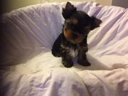 Yorkshire Terrier Welpen black and