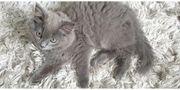 Scotisch Fold BKH Kitten