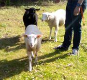 3 Schafe bzw Lämmer zvk