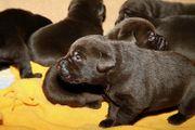 Labrador Welpen in chokolate