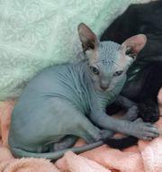 Sphynx blue Babykater