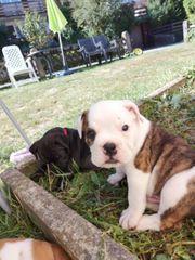 Boxer old English bulldogge Welpen