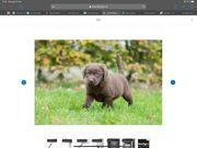 Labrador Welpen Bildschön reinrassig