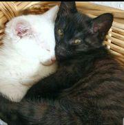Katzenbaby Katze Kätzchen geimpft gechipt