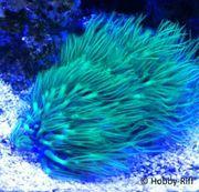 Meerwasser Korallen Erythropodium caribaeorum - Grünes
