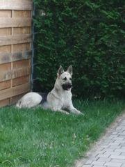 Osteuropäischer Schäferhund - Deckrüde mit Ahnentafel