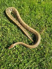 Kornis und Pythons zu verkaufen