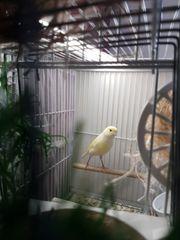 Kanarienvogel weibliche