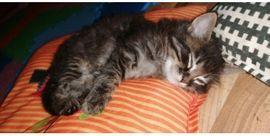 ALLE RESERVIERT Norwegische Waldkatze Mix Langhaar Kitten