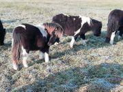 Shetland Pony - Tolles Passgespann - Hengstfohlen