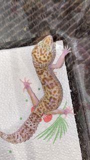Leopardgecko Weibchen Mack Snow Raptor