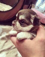 Chihuahua Welpe Husky Rüde LH