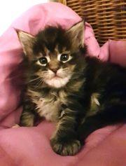 Maine Coon Kitten Mädchen mit