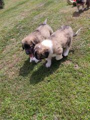 Pyrenäenberghund welpen Mischlinge