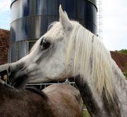 15 j Vollblutaraberstute als Beistellpferd