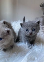 Katzenbabys - Lilac - Blue - Kater - Katze -